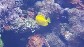 Peixes amarelos da espiga foto de stock royalty free