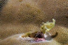 Peixes amarelos da rã do bebê Imagem de Stock