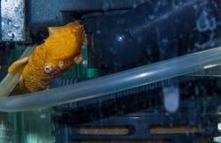 Peixes amarelos do ancitrus Imagens de Stock