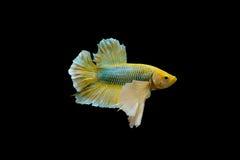 Peixes amarelos do betta, peixes de combate Siamese ou peixes Pla-kad cortantes isolados no fundo preto com trajeto de grampeamen Imagem de Stock Royalty Free