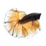 Peixes amarelos do betta no fundo branco Fotografia de Stock Royalty Free