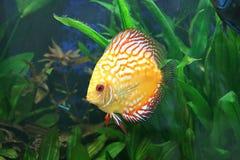 Peixes amarelos do disco no aquário Fotografia de Stock Royalty Free