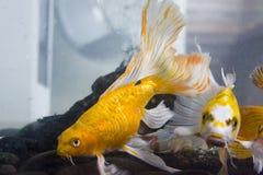 Peixes amarelos do koi   Fotografia de Stock