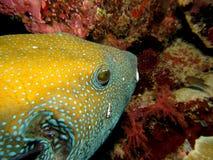 Peixes amarelos do soprador imagens de stock royalty free