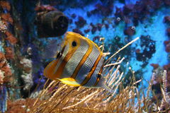 Peixes amarelos e brancos foto de stock royalty free