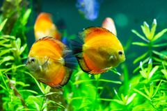Peixes amarelos exóticos na água imagem de stock royalty free