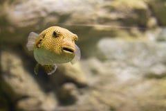 Peixes amarelos exóticos na água imagem de stock