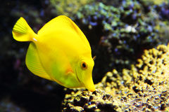 Peixes amarelos tropicais do aquário da espiga Fotos de Stock