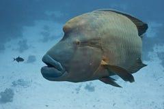 Peixes amigáveis napoleon Foto de Stock Royalty Free