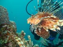 Peixes & mergulhadores do leão Foto de Stock
