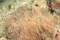 Peixes - anemonfish do palhaço Foto de Stock
