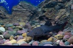 Peixes asiáticos do peixe-gato do redtail Foto de Stock