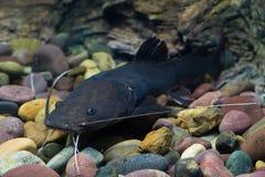 Peixes asiáticos do peixe-gato do redtail Imagens de Stock Royalty Free