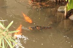 Peixes asiáticos Koi três fotografia de stock