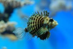 Peixes assustadores Foto de Stock