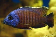Peixes azuis Foto de Stock