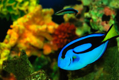 Peixes azuis Fotografia de Stock Royalty Free
