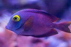 Peixes azuis Foto de Stock Royalty Free