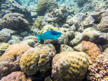 Peixes azuis Imagem de Stock