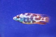 Peixes azuis da cichlidae no fim do aquário acima fotografia de stock royalty free
