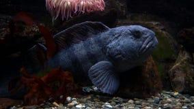 Peixes azuis de descanso video estoque