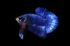 Peixes azuis do betta Foto de Stock