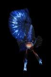 Peixes azuis do betta Fotografia de Stock Royalty Free