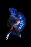 Peixes azuis do betta Imagem de Stock Royalty Free