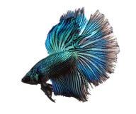 Peixes azuis do betta isolados no fundo branco Fotografia de Stock