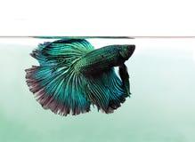 Peixes azuis do betta isolados no fundo branco Fotografia de Stock Royalty Free