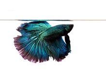 Peixes azuis do betta isolados no fundo branco Fotos de Stock