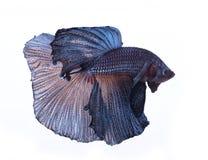 Peixes azuis do betta mim Imagens de Stock