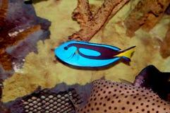 peixes azuis do cirurgião imagem de stock