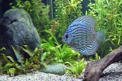 Peixes azuis do disco de turquesa Imagem de Stock