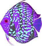 Peixes azuis do disco do leopardo Fotografia de Stock