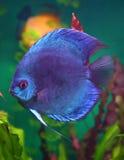 Peixes azuis do disco no aquário Foto de Stock Royalty Free