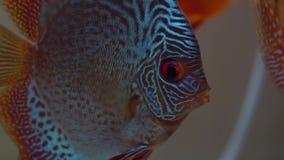 Peixes azuis do pompadour do close-up com os olhos vermelhos no aquário, cores da bacia das Amazonas filme