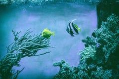 Peixes azuis e amarelos sob a água, filtro análogo foto de stock