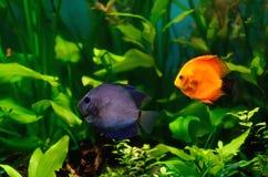 Peixes do disco no aquário imagem de stock royalty free
