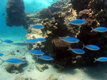 Peixes azuis em um recife de corais Fotos de Stock