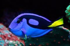 Peixes azuis exóticos que vivem em uma vida do oceano profundo Imagens de Stock