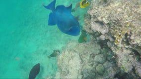 Peixes azuis grandes no Mar Vermelho O mundo subaquático rico de Egito video estoque