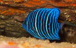 Peixes azuis juvenis do anjo do anel Imagem de Stock