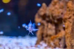 Peixes azuis no aquário Fotografia de Stock Royalty Free