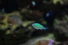 Peixes azuis pequenos fotografia de stock royalty free