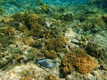 Peixes azuis perto do coral Fotografia de Stock Royalty Free