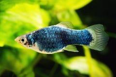 Peixes azuis pretos do Platy imagem de stock royalty free