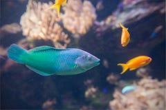 Peixes azul esverdeado do aquário Imagens de Stock Royalty Free