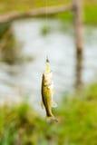 Peixes baixos que penduram em uma linha de pesca Fotos de Stock Royalty Free