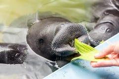 Peixes-boi de alimentação imagem de stock